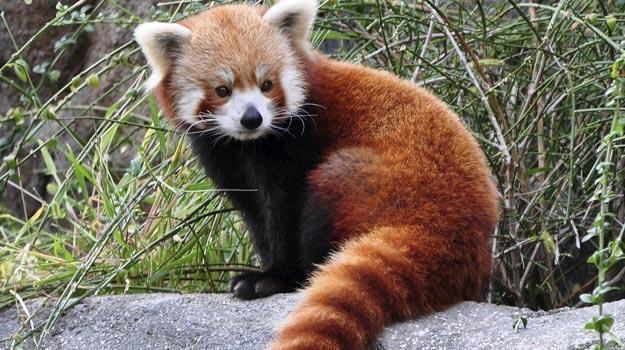 Image of: Ppt Red Panda Environment Conservation Association Red Panda Environment Conservation Association